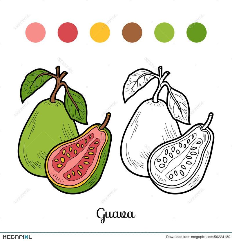 Coloring Book: Fruits And Vegetables (Guava) Illustration 56224180 -  Megapixl