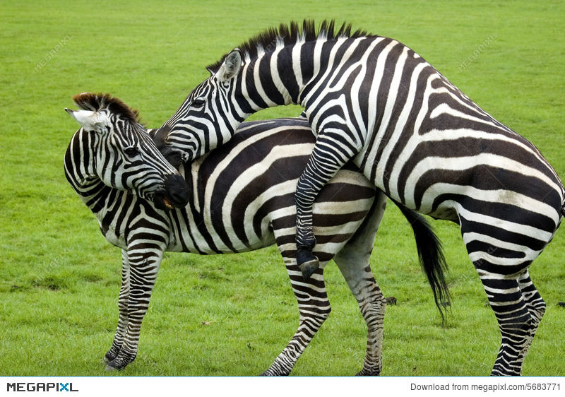 Zebras Mating Stock Photo 5683771 Megapixl