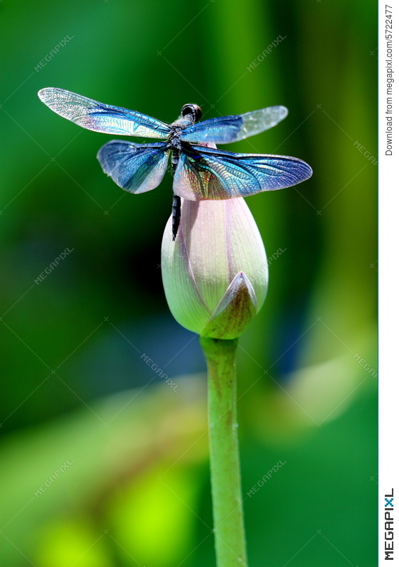 Colourful Dragonfly On A Lotus Flower Stock Photo 5722477 Megapixl