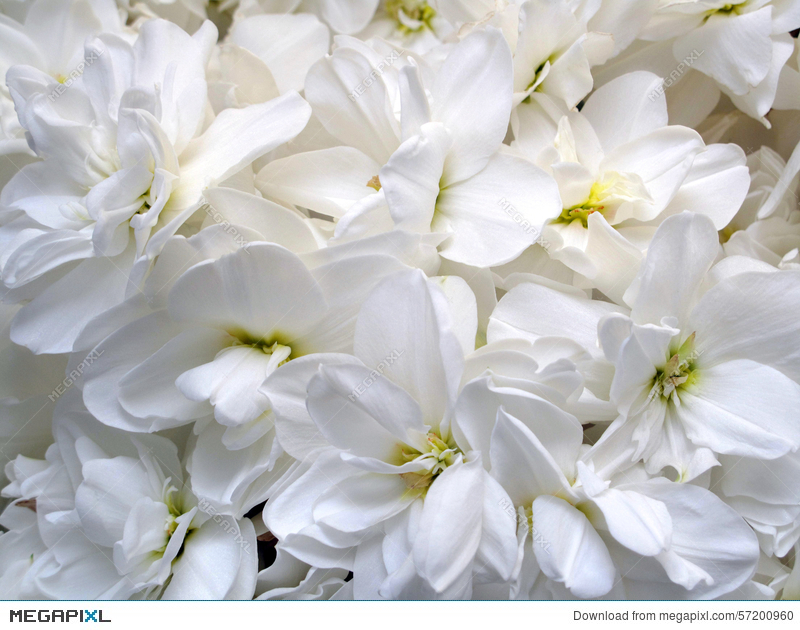 A bunch of pure white flowers stock photo 57200960 megapixl a bunch of pure white flowers mightylinksfo