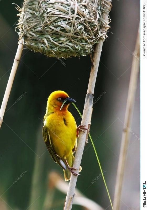 Weaver Bird Building Nest Stock Photo 6116856 Megapixl