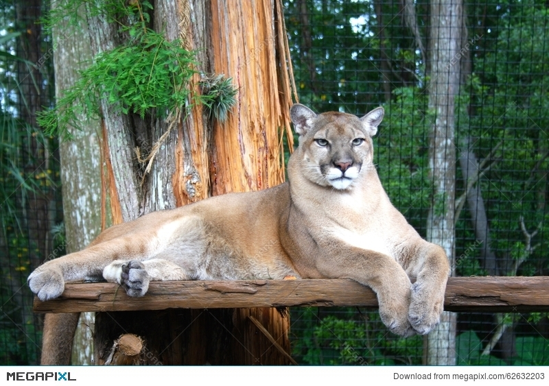 d8427bfe51c Florida Panther Sitting In Enclosure Stock Photo 62632203 - Megapixl