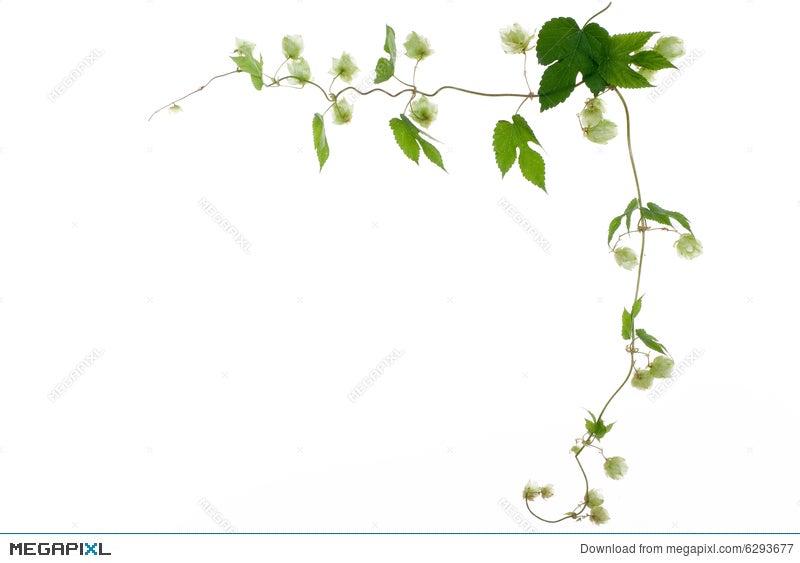 Nature Frame Of Green Hop Stock Photo 6293677 - Megapixl