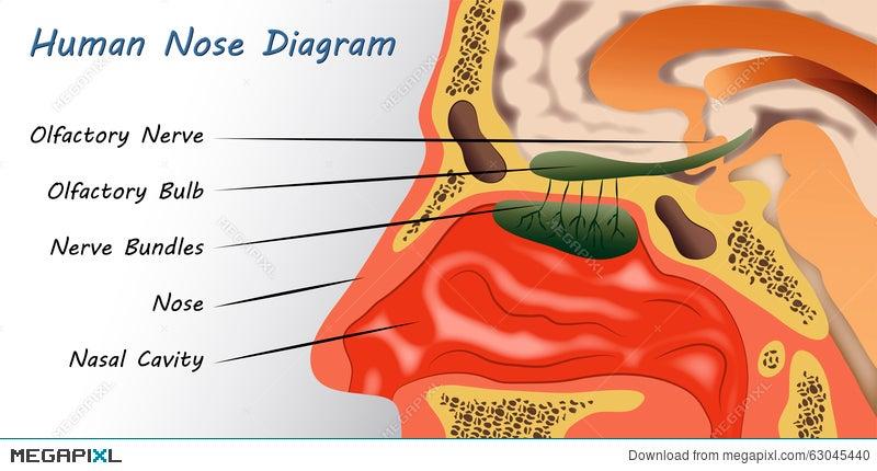 Human Nose Diagram Illustration 63045440 Megapixl