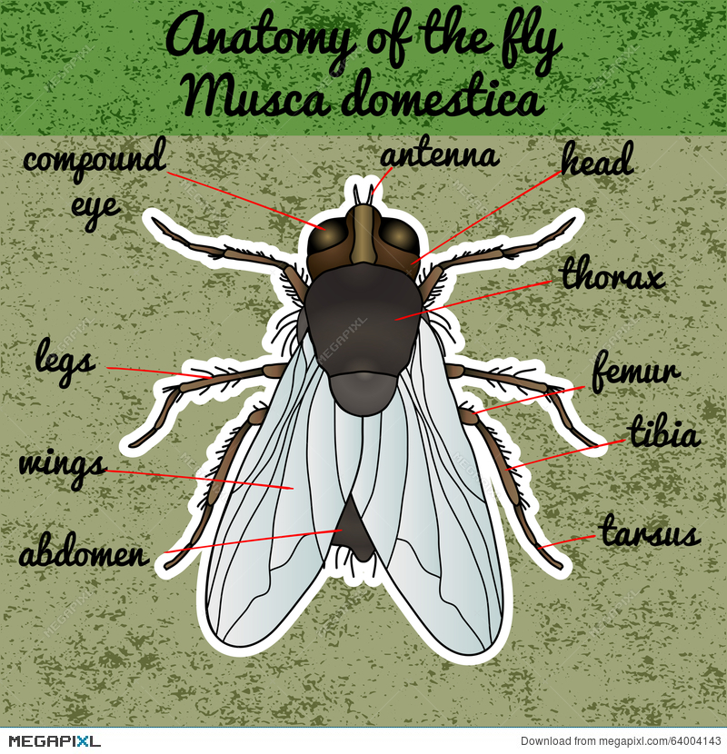 Anatomy Coloring Book Download Free : Insect anatomy. sticker fly. musca domestica.. insect. a realistic