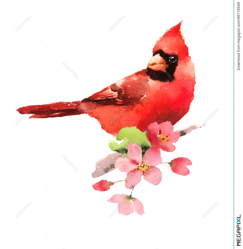 Cardinal Red Bird On The Cherry Blossoms Branch Watercolor