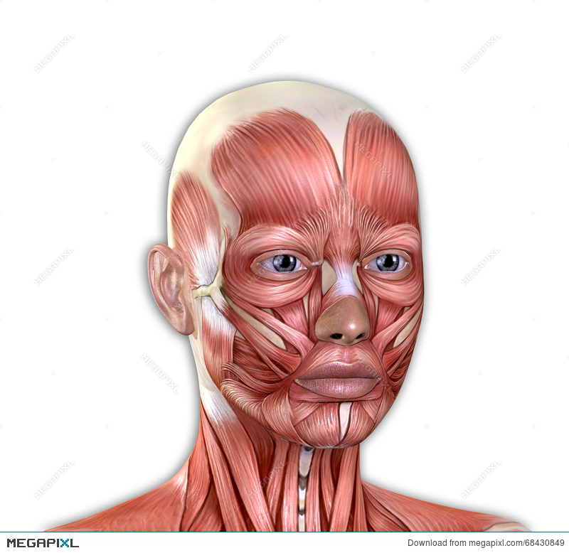 Female Face Muscles Anatomy Illustration 68430849 Megapixl