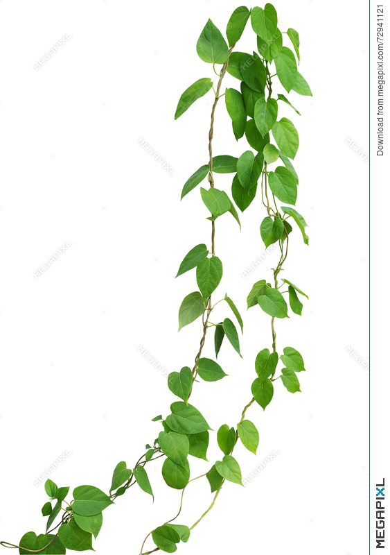 Heart shaped green leaf vines isolated on white background clip heart shaped green leaf vines isolated on white background clip mightylinksfo