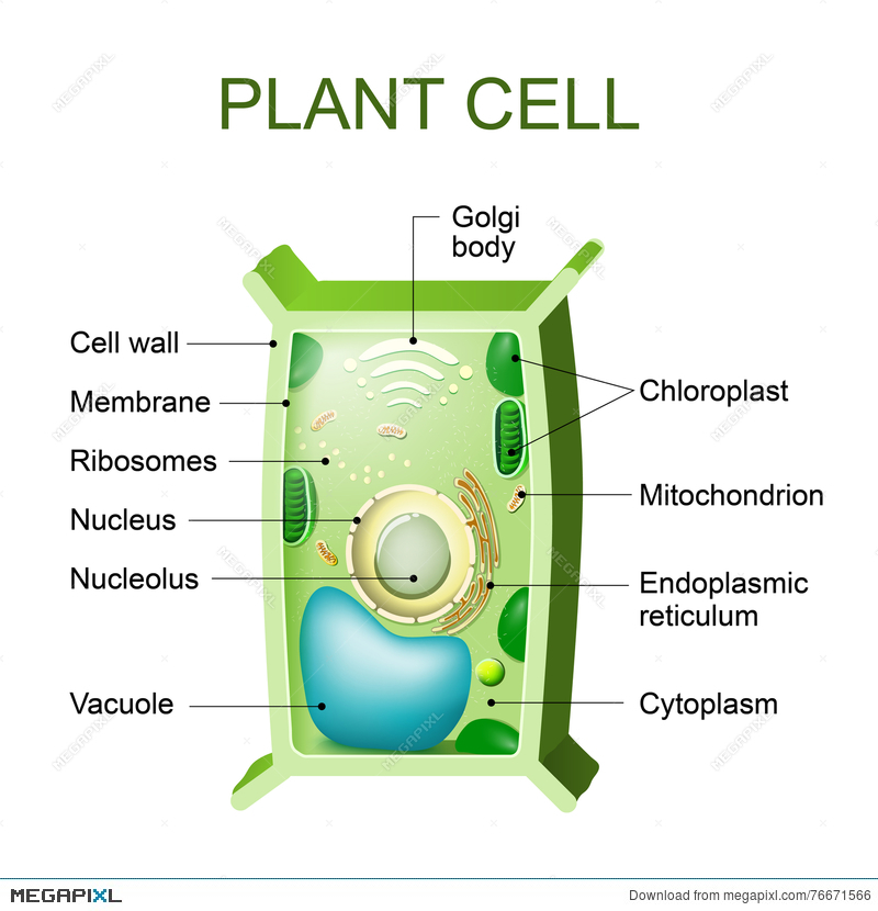 Plant Cell Anatomy Illustration 76671566 - Megapixl