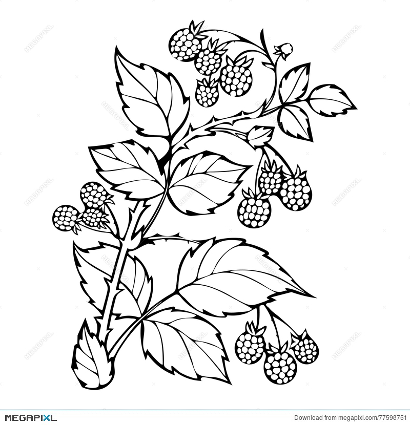 Raspberries Coloring Book, Sketch, Black And White Illustration ...